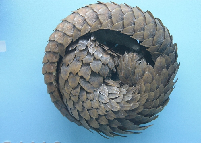 1280Px A Pangolin In Defensive Posture Horniman Museum London